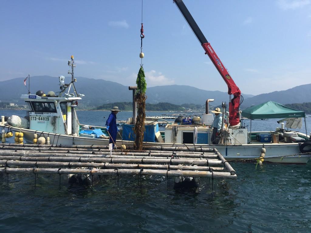 牡蠣株の温水処理作業。牡蠣の殻は機密性、断熱性が強いため温水に浸しても影響はないという