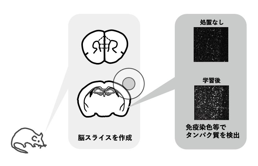 【NEW GENERATION】 神経科学 石川理絵助教